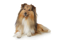 在一个空白背景的大牧羊犬 免版税库存图片