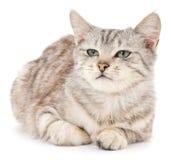 在一个空白背景的小猫 库存照片