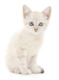 在一个空白背景的小猫 库存图片