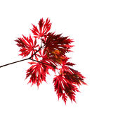 在一个空白背景的红色秋天槭树分行 免版税库存照片