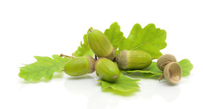 在一个空白背景的绿色橡子和橡木叶子 库存照片