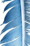 在一个空白背景的蓝色羽毛 免版税库存图片