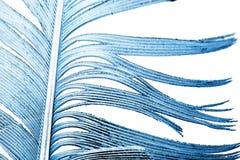 在一个空白背景的蓝色羽毛 免版税库存照片