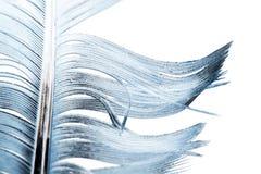 在一个空白背景的蓝色羽毛 图库摄影