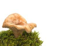 在一个空白背景的蘑菇 库存图片