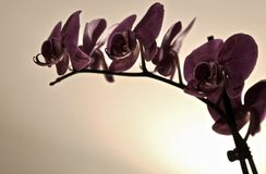 在一个空白背景的紫色兰花 库存图片