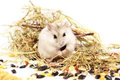 在一个空白背景的Jungar仓鼠 免版税图库摄影