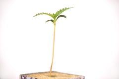 在一个立方体与生长前两片的叶子, iso的大麻新芽 库存照片