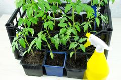 在一个箱子的年轻蕃茄幼木在窗台和黄色浪花 免版税库存照片