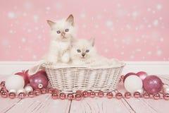 在一个篮子的两只婴孩ragdoll猫与桃红色圣诞节装饰 库存图片