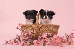 在一个篮子的两条逗人喜爱的奇瓦瓦狗小狗在桃红色背景w 库存照片