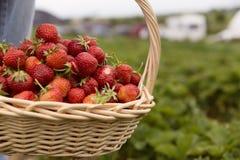 在一个篮子的新鲜的摘的草莓在草莓种植园 库存照片