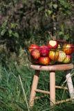 在一个篮子的有机秋天苹果在一张木桌上在果树园 免版税库存图片