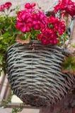 在一个篮子的桃红色大竺葵在街道 图库摄影