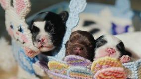 在一个篮子的滑稽的小狗用一只装饰兔子,在复活节彩蛋旁边 复活节和喜爱的宠物的准备 股票视频