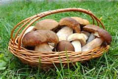 在一个篮子的白色强的蘑菇在清洁 图库摄影