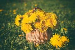 在一个篮子的蒲公英黄色花花束在阳光,天然泉背景下 库存照片