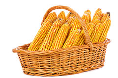 在一个篮子的被收获的玉米在白色背景 免版税库存图片