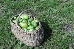 在一个篮子的绿色蕃茄在一棵草在庭院里 免版税图库摄影