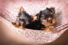 在一个米黄吊床的两逗人喜爱的约克夏狗小狗 免版税图库摄影