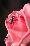 在一个精美粉红色的甲虫 免版税库存图片