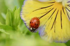 在一个紫色和黄色蝴蝶花宏指令的瓢虫 免版税库存照片