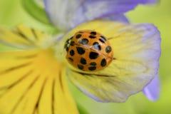 在一个紫色和黄色蝴蝶花宏指令的瓢虫 免版税库存图片