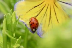 在一个紫色和黄色蝴蝶花宏指令的瓢虫 图库摄影