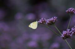 在一个紫色设置的一只白色蝴蝶 库存图片
