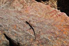 在一个红色岩石的一只棕色蜥蜴 图库摄影