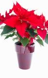 在一个红色罐的一品红花在白色背景 库存照片