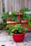在一个红色罐的一棵草莓植物 免版税库存照片