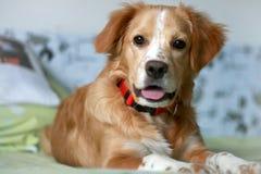 在一个红色衣领的红头发人小狗在床上 库存照片