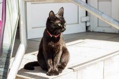 在一个红色衣领的黑美丽和骄傲的猫 免版税库存图片