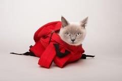 在一个红色袋子的米黄猫,在白色背景 库存照片