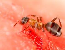 在一个红色西瓜的一只蚂蚁 库存照片