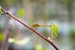 在一个红色词根的一只黄色蜻蜓 库存图片