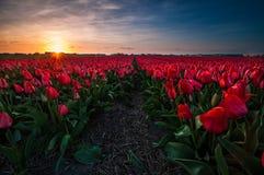 在一个红色郁金香领域的日落 免版税库存照片