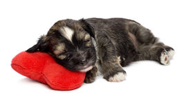 在一个红色重点的逗人喜爱的休眠华伦泰Havanese小狗 库存照片