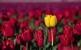 在一个红色领域的黄色郁金香 库存图片