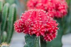 在一个红色仙人掌的选择聚焦在庭院里 库存照片