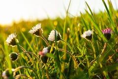 在一个绿色五颜六色的草甸的雏菊晚上太阳的 免版税库存图片