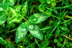 在一个绿色叶子特写镜头的雨珠 水滴在一个绿色植物宏指令的 免版税库存照片