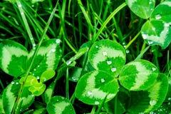 在一个绿色叶子特写镜头的雨珠 水滴在一个绿色植物宏指令的 免版税库存图片