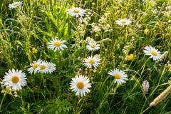 在一个绿色夏天草甸的被日光照射了白色春黄菊 选择聚焦 顶视图 库存照片