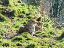 在一个绿色山坡的2头猎豹 免版税图库摄影