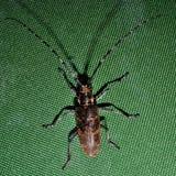 在一个绿色帐篷的甲虫长角牛甲虫 图库摄影