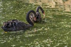 在一个绿色池塘的黑天鹅对 库存照片