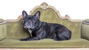 在一个绿色沙发的法国牛头犬 免版税库存图片
