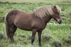 在一个绿色牧场地的冰岛马 免版税库存图片